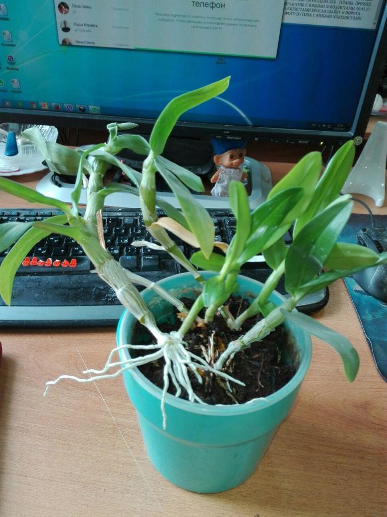 орхидея дендробиум воздушные корни стричь фото они