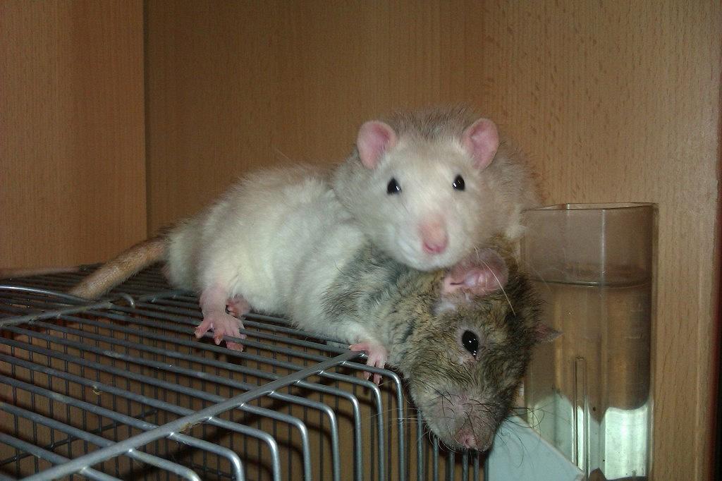 фото самцы крыс граждан юридических лиц