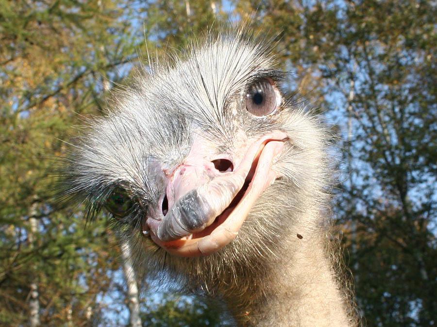 Картинка страуса прикольная