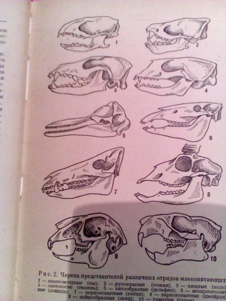 Самый, черепа млекопитающих различных отрядов в картинках