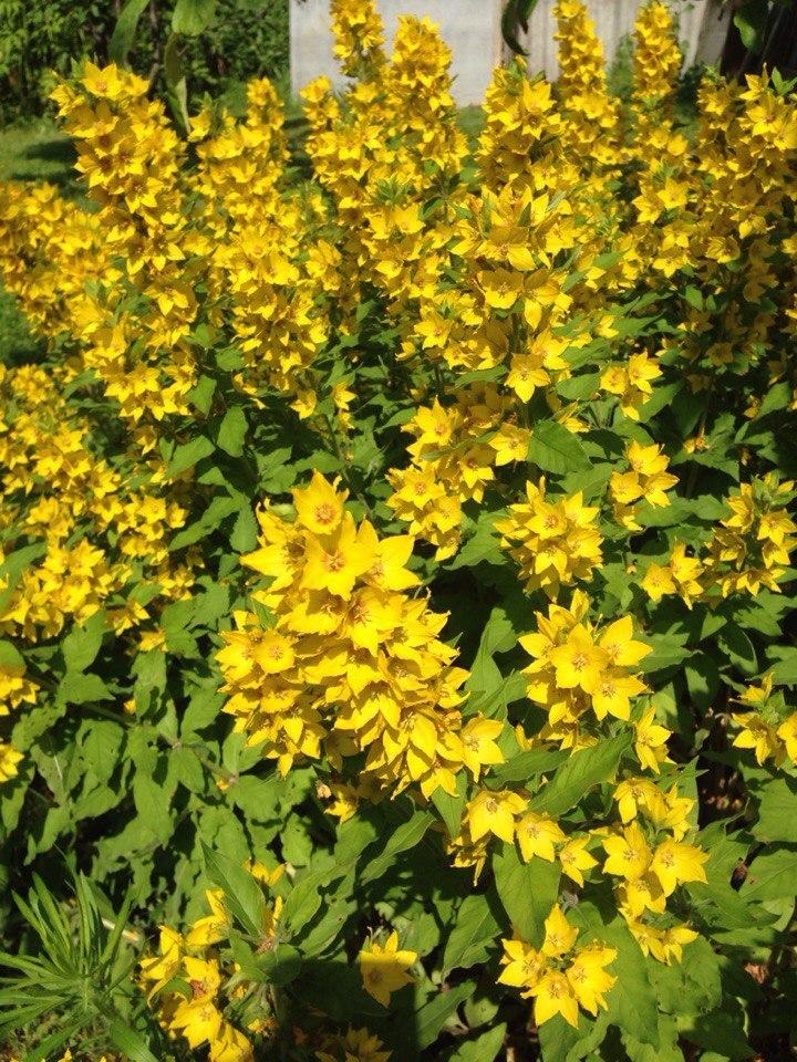 советы желтый цветок на даче фото сейчас