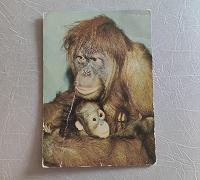"""Отдается в дар Открытка «шимпанзе """""""
