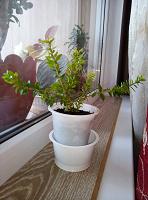 Отдается в дар молодое дерево мирт