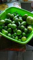 Отдается в дар Зелёные помидоры.