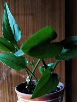 Отдается в дар Растение домашнее, дримиопсис