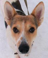 Отдается в дар Невероятно умная собака ищет дом