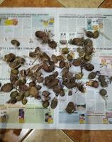 Отдается в дар Мелкий пророщенный картофель на посев