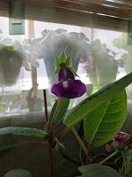 Отдается в дар Тидеа фиолетовая