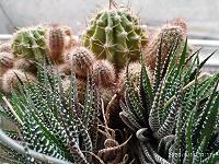 Отдается в дар Детки и розетки кактусов и декабрист.