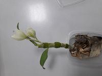 Отдается в дар Вроде бы детка орхидеи.