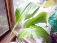 Отдается в дар Ландыши, 3 шт, растущие в цветочном горшке.