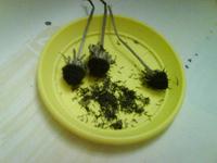 Отдается в дар Семена рудбекии