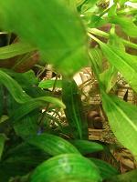 Отдается в дар Неприхотливое аквариумное растение криптокорина