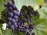 Отдается в дар виноград