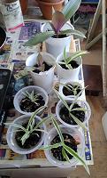 Отдается в дар Комнатные растения: Хлорофитум остался