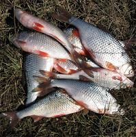 Отдается в дар Рыба плотва 1.5кг с Рыбинского в-ща