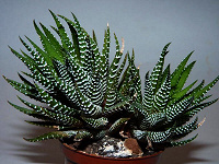 Отдается в дар Хавортия полосатая (Haworthia fasciata)