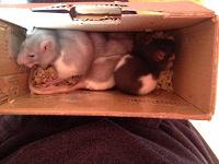 Отдается в дар породистые крысята редких генов