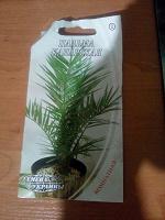 Отдается в дар Семена пальмы