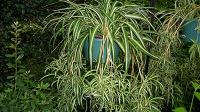 Отдается в дар растение Хлорофитум хохлатый