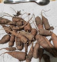 Отдается в дар Морковь мелкая