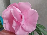 Отдается в дар Детка/отросток Олеандра махрового розового