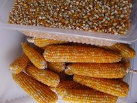 Отдается в дар Семена попкорна со своего огорода