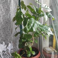 Отдается в дар Отростки Перексии ( листовой кактус)