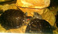 Отдается в дар Красноухие черепахи с обустроенным домом.