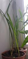 Отдается в дар Саженцы пальмы