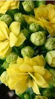Отдается в дар Коланхоэ желтый махровый