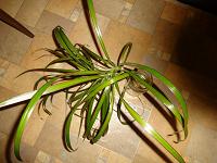 Отдается в дар Комнатные растения. Замиокулькас и драцена.