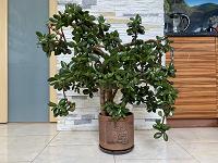 Отдается в дар Crassula 90 см «Денежное семейное дерево»