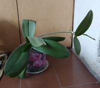 Отдается в дар Орхидея белого цвета