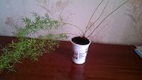 Отдается в дар Комнатное растение аспарагус