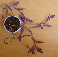 Отдается в дар Сеткрезия пурпурная