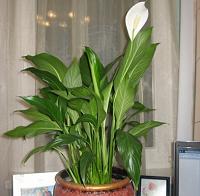 Отдается в дар ростки цветочка спатифилум