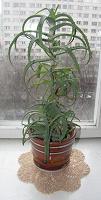 Отдается в дар Комнатное растение — домашний доктор