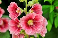 Отдается в дар Мальва (шток-роза) розовая