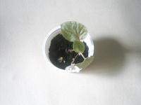 Отдается в дар Бегония вечноцветущая -комнатное растение