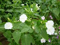 Отдается в дар семена зорьки (цвет белый)