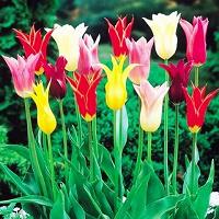 Отдается в дар Тюльпаны