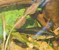 Отдается в дар Аквариумные рыбы взрослые, водорослееды