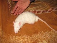 Отдается в дар Крысик с клеткой