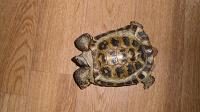 Отдается в дар Живая черепаха