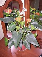 Отдается в дар Цветок комнатный (2)