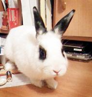 Отдается в дар Английский пятнистый кролик Степан
