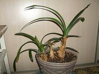 Отдается в дар Цветок (растение комнатное, большое)