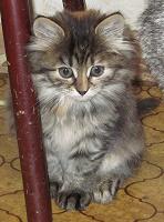 Отдается в дар Котёнок полосатый, повышенной пушистости, ищет нового хозяина