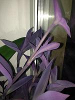 Отдается в дар Сеткреазия пурпурная (отросточки)